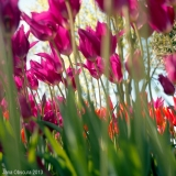 Quick post: Skagit Valley tulips